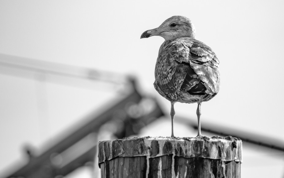 Seagull perched on a dock at Rye Harbor New Hampshire.