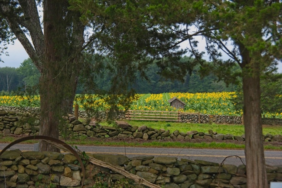 This image depicts on of the Sunflower fields at Buttonwood Farms in Griswold CT. Every year the ...