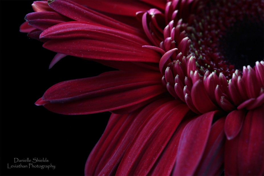Love the color of this gerbera daisy. So deep and moody.