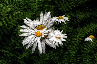 A Patch of Wild Daisies