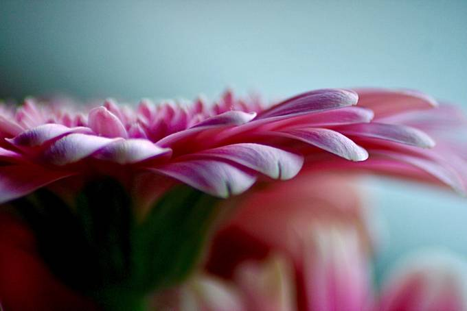 Gerbera in Macro by rebelpunk - Beautiful Flowers Photo Contest