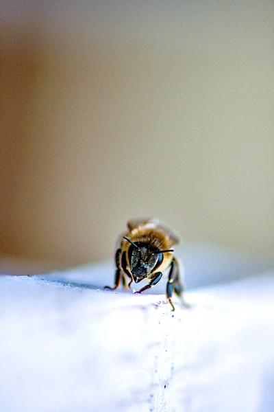 Honey Bee ..... Beautiful
