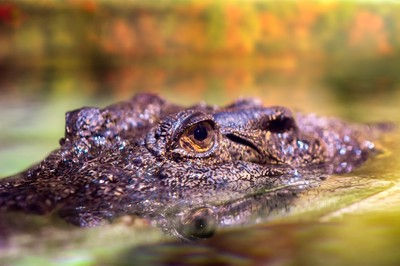 Croc close up