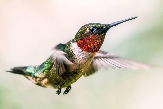 Ruby-Throat at Dusk by JakeKurdsjuk - Just Hummingbirds Photo Contest