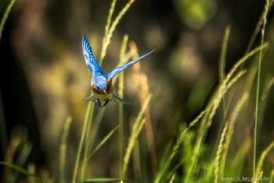 Eastern Bluebird Zeros In