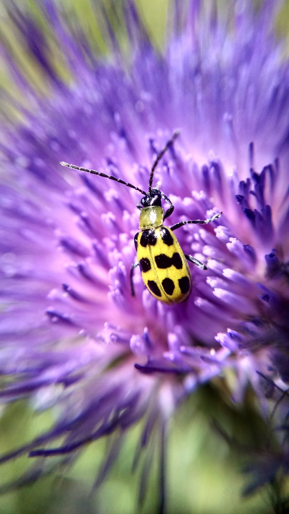 Cucumber beetle on a thistle by Curlycooley - Macro And Patterns Photo Contest
