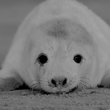 a young grey seal pup less than one day old
