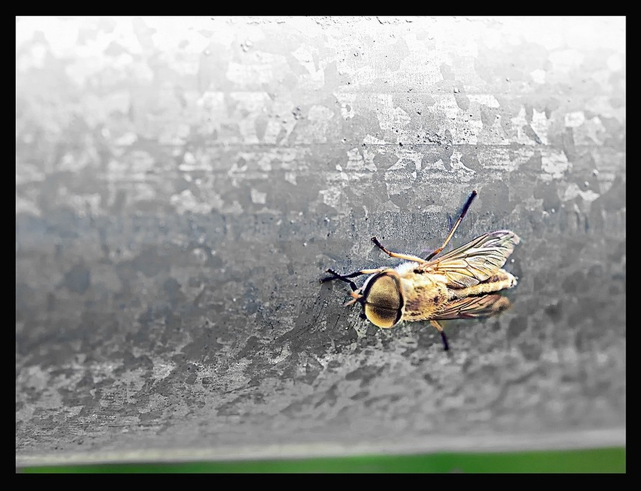 Horsefly on Galvanized Steel
