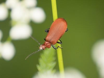Beetle lost