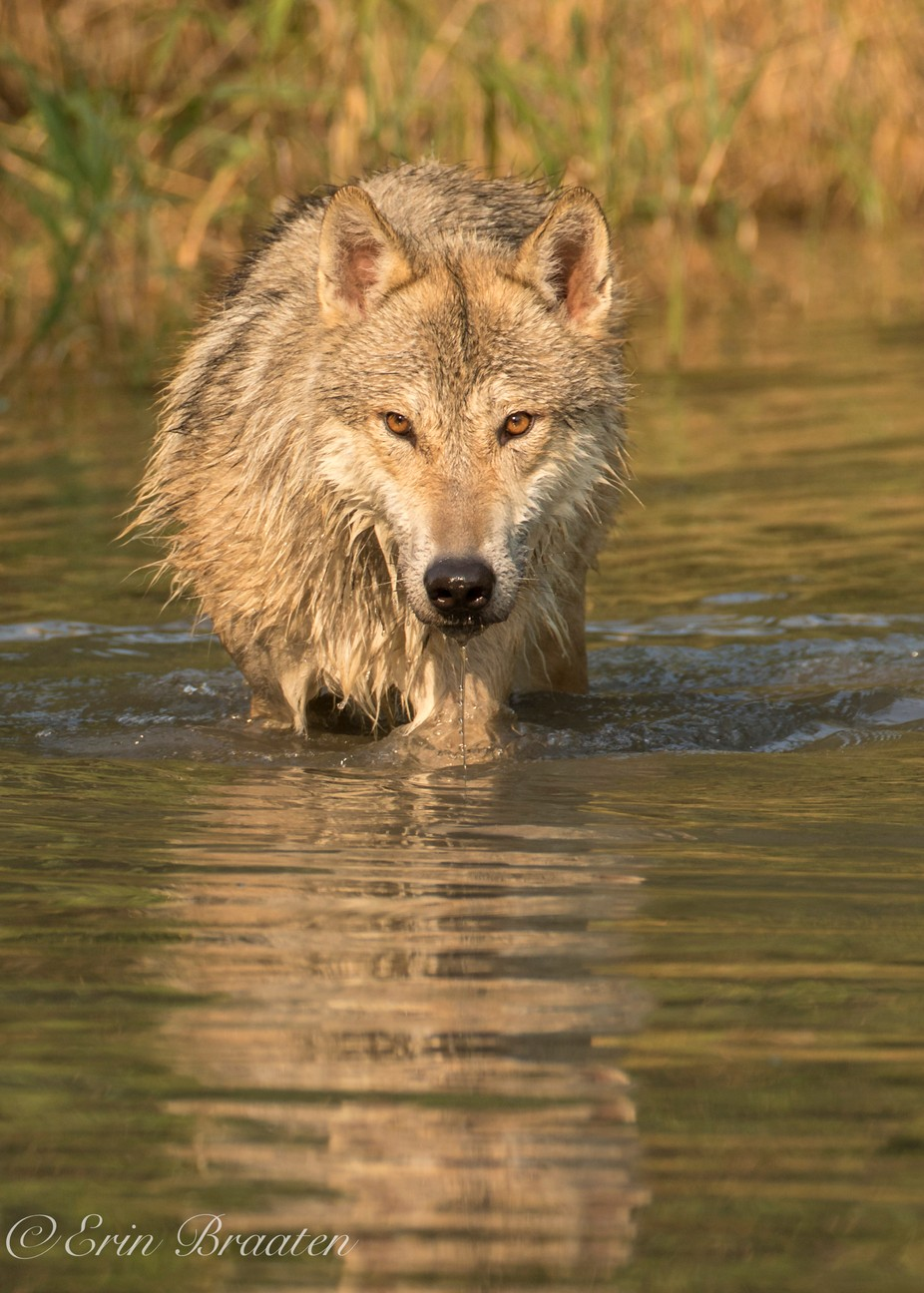 Wolf and Water by DancingAspensPhotography - Animals And Water Photo Contest