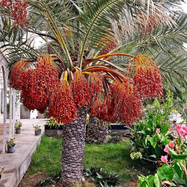 This photo was taken at a restaurant, next to Palm Beach in Famagusta, in the year 2014. When I saw this palm tree with its dates on its branches, I couldn't resist taking a photogtaph.