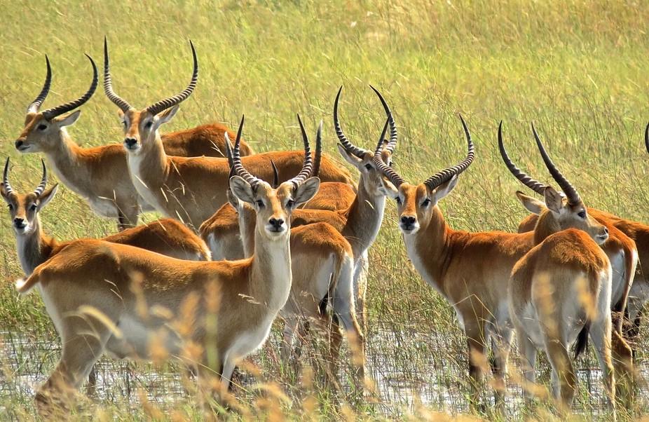 Red Lechwe, morphology is especially adapted to water, Okavango Delta, Botswana