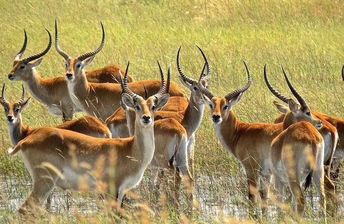 """Red Lechwe of the Okavango Delta, Botswana"" by elizabethgrottlestrebel - Animals And Water Photo Contest"