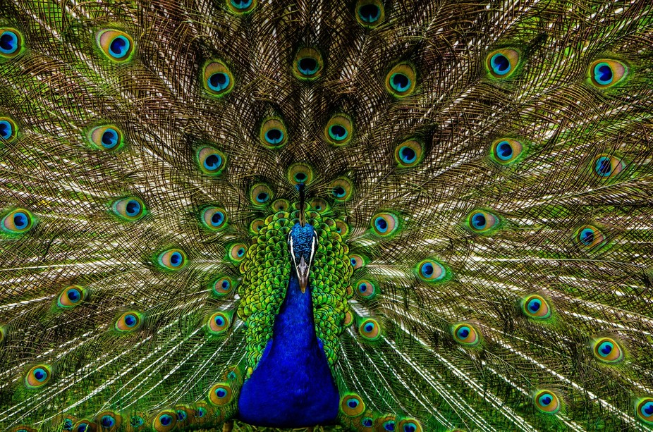 A male Peacock shows off his tail feathers to impress the ladies.