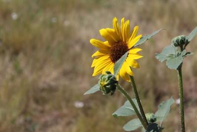Sunflower0692