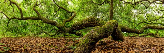Angel Oak in Charleston, South Carolina