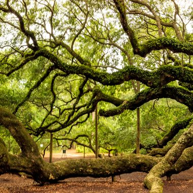 Angel Oak in Charleston, South Carolina