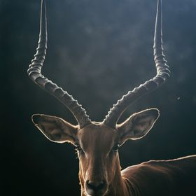 A wild Impala, photographed just recently in Kenya during sunset.