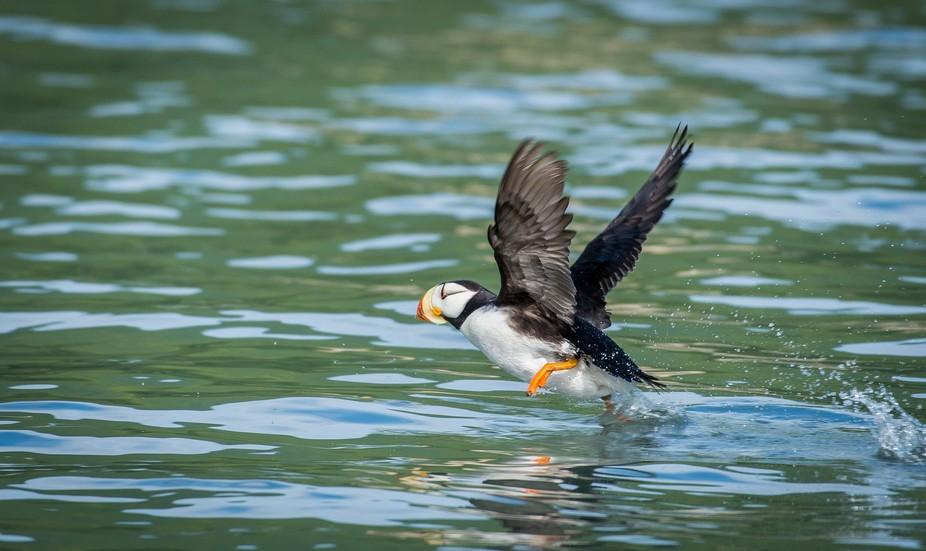Puffin taking off at Duck Island, near Lake Clark National  Park, Alaska