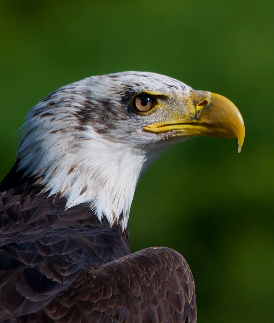 Bald Eagle Head Shot  by MitchellWentzell - Majestic Eagles Photo Contest