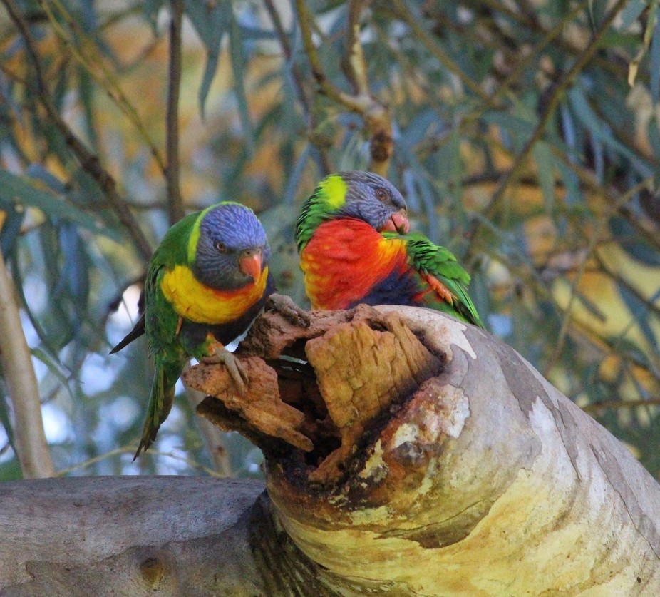 These little parrots are very colourful and wonderfull to follow in the park they are such a soci...