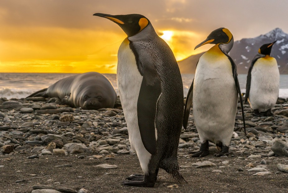 An early start to make this image - sunrise with king penguins and seals