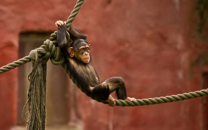 monkey_rope_entertainment_ by HamzaAlJabri - Monkeys And Apes Photo Contest