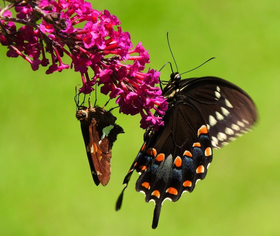 Spicebush swallowtail and guest at lunch