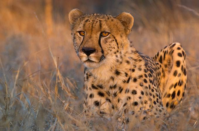 Cheetah 13w by delhunter - Subjects On The Ground Photo Contest