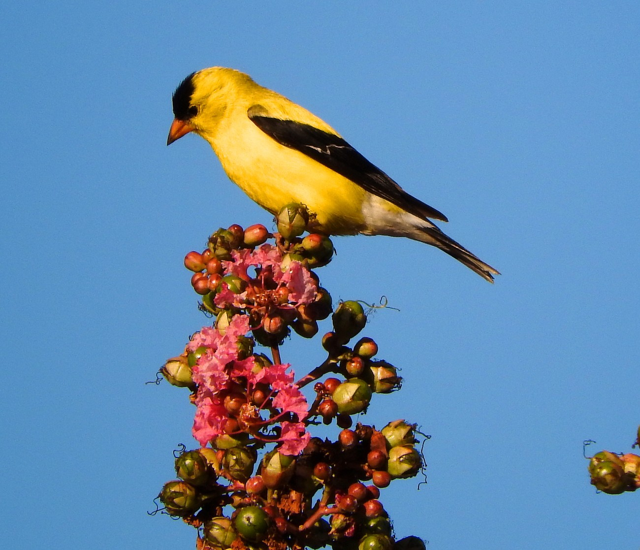 Male Goldfinch atop the Crape Myrtle