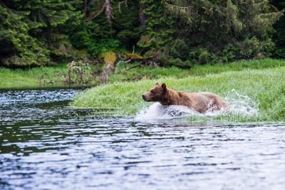 Male Griz leaps into the creek