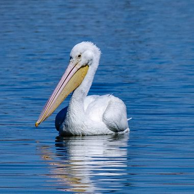 Pelican 4