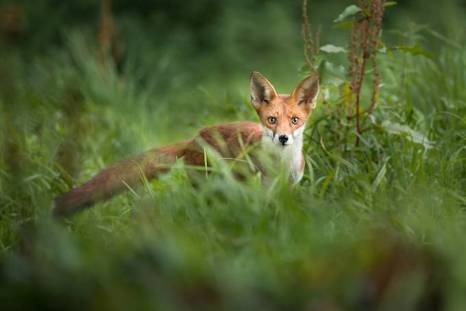 Fox in the grass by MattGould - Everything Bokeh Photo Contest