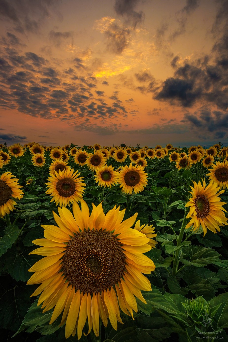 Sunflower Sunset by aaronjgroen - Simply HDR Photo Contest