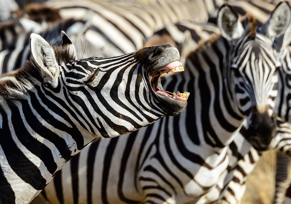 One zebra in the herd had plenty to say, but none of the others paid any attention.