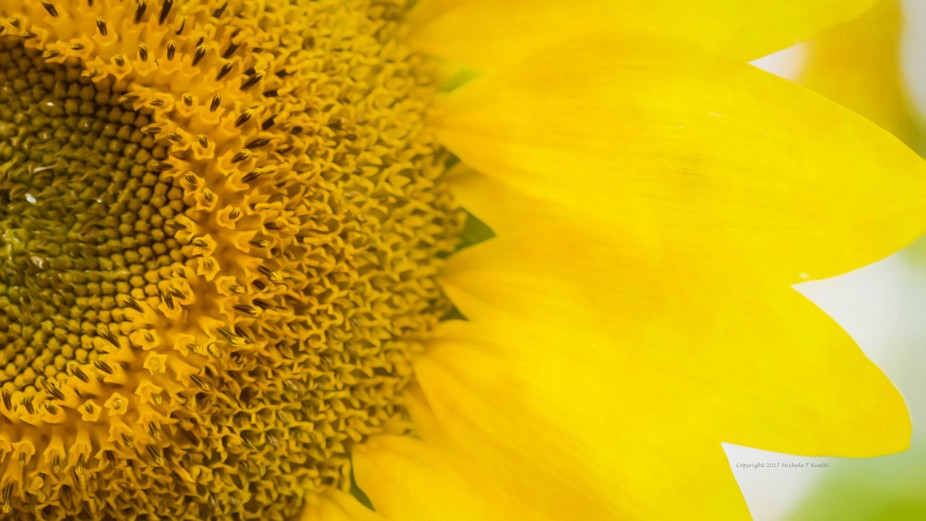 Sunflowers are my favorite flowers - what is wonderful about Buttonwood Farms is the sunflowers a...