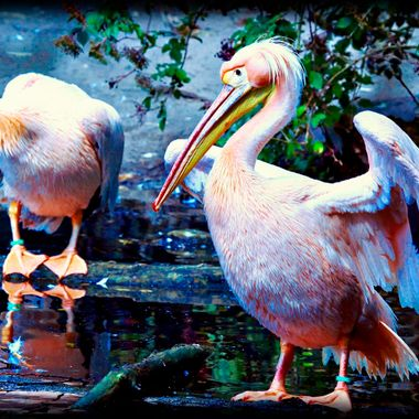 Pelican photos taken at Nademanns animal Park 06 Aug 2017.