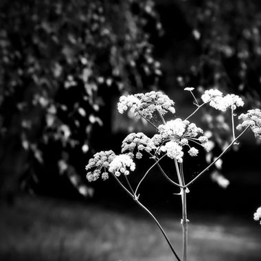 A picture of a grass stem converted to Black & White.