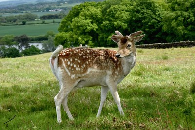 Deer in Bradgate Park