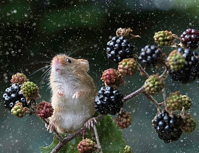 Snowy Harvest mouse with slight contrast adjust.