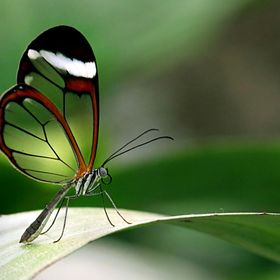 Glasswing, picture taken in a greenhouse