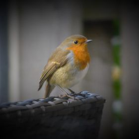 This friendly robin was waiting outside the café to pick up crumbs from the table.