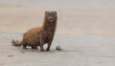 Mink with fish