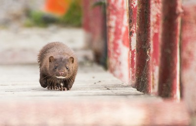Mink on the move