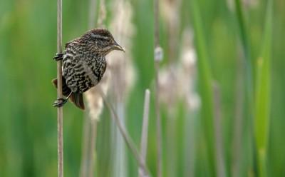 sparrow in a marsh