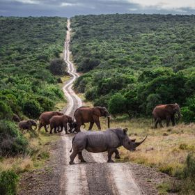 We raced ahead of this marvelous herd of African Elephants and positioned ourselves on the road to try and capture this scene as they crossed the...