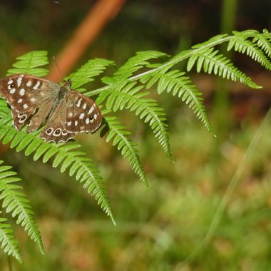 Butterfly in Brown.