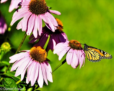 Monarch Butterfly Eating