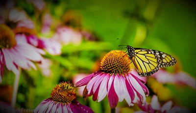 Monarch Resting On Coneflower