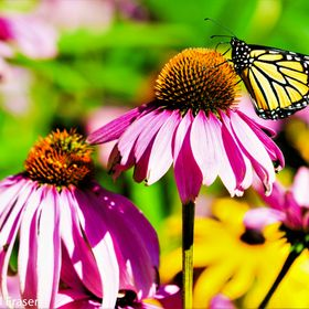 Out of the cocoon the butterfly seeks out food from the nectar of the flower.  One of the most popular is the coneflower,  I saw three flying aro...